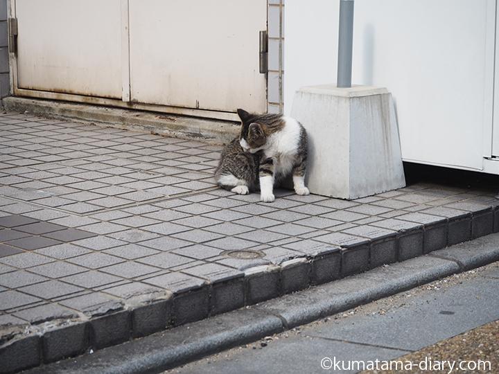 体をなめるキジトラ白猫さん