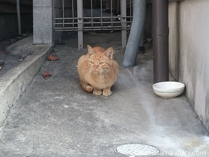 戸畑の茶トラ猫さん