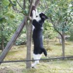 博多の聖福寺の黒白猫さんは木に飛びついていました