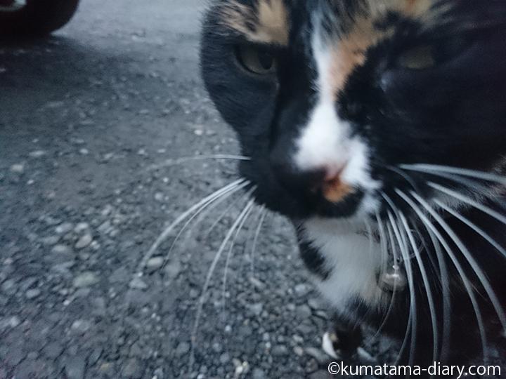 三毛猫さんドアップ