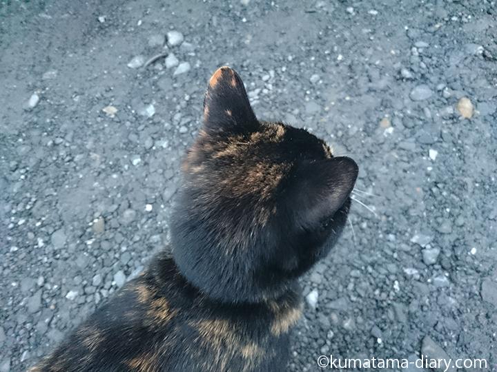 三毛猫さん後頭部