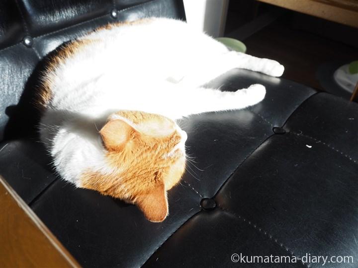 カリモク60のKチェアで寝るたまき