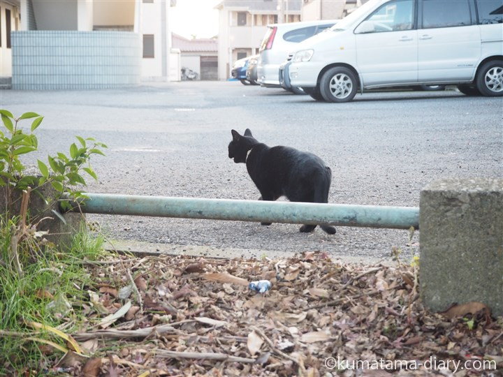 鳴きながら駐車場へいく黒猫さん