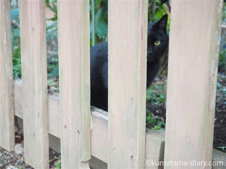 塀の向こうの黒猫さん