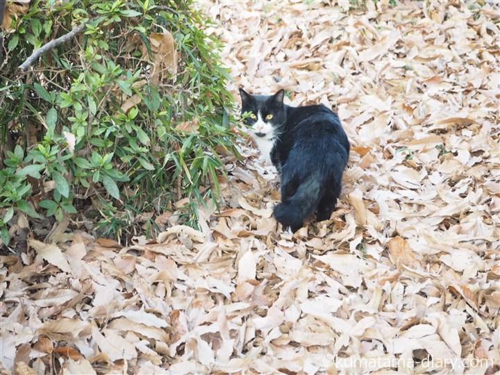 振り向く黒白猫さん