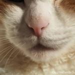 「OLYMPUS ミラーレス一眼 マクロコンバーター MCON-P02」で猫を接写