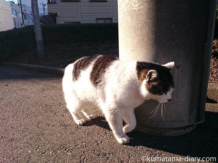 電柱にすりすりするキジトラ白猫さん