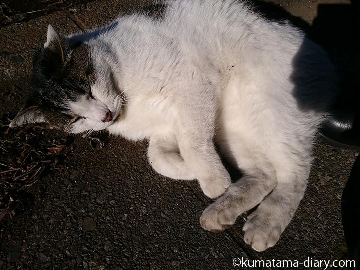 近所のキジトラ白猫さんごろん