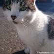 近所のキジトラ白猫さんアップ