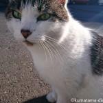 体が大きくなったような気がする近所のキジトラ白猫さん