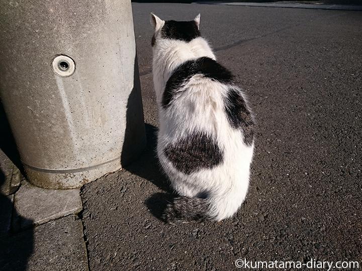 電柱の側の近所のキジトラ白猫さん