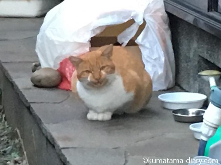 茶トラ白猫さん鳴いている