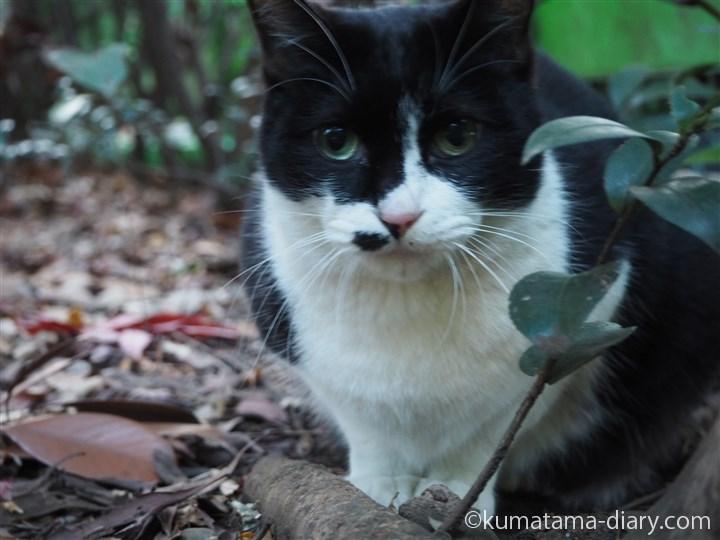 囲いの向こうの黒白猫さん