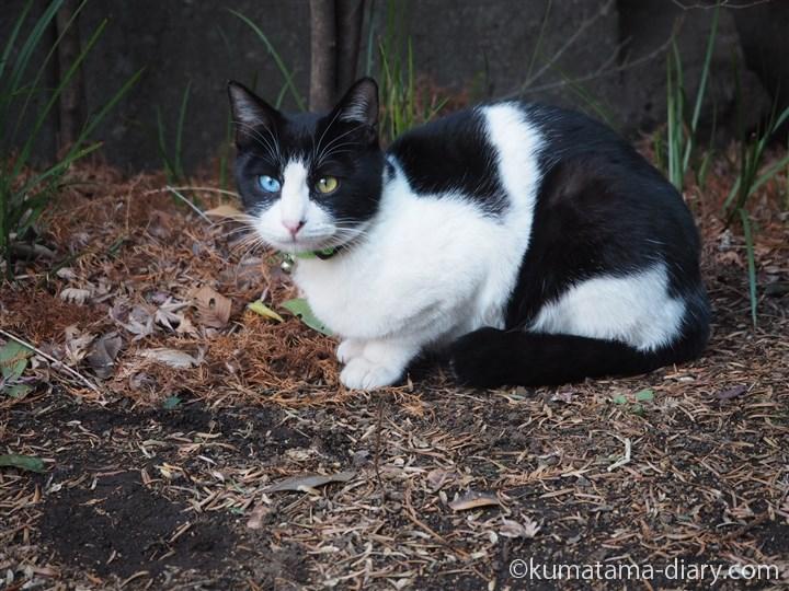 オッドアイの黒白猫さん