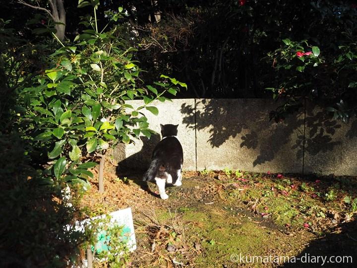 立派なにゃんたまの黒白猫さん