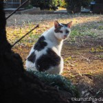 【巣鴨】染井霊園のキジトラ白猫さんたち