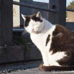 【巣鴨】染井霊園の黒白猫さん