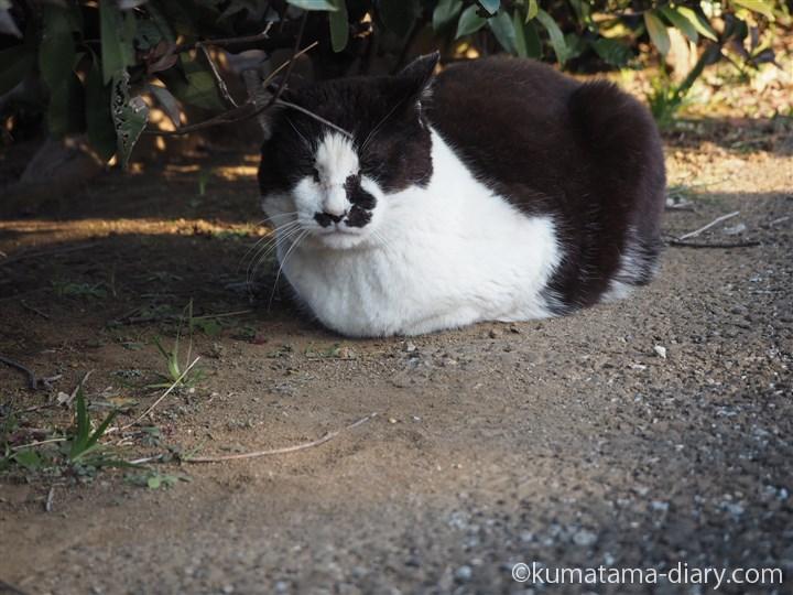 香箱座りの黒白猫さん