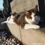 【巣鴨】染井霊園で縦に並んで寝ていたキジトラ白猫さん