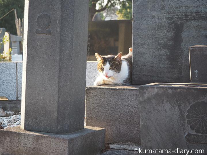 キジトラ白猫さん発見