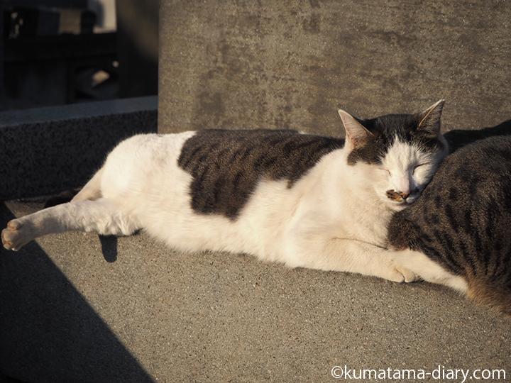 気持ちよさそうなキジトラ白猫さん