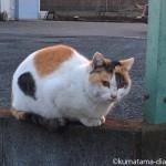 【入間市】工業団地の三毛猫さん