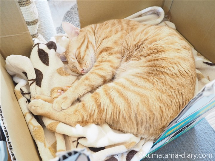 クロネコダンボールで寝る茶トラ猫さん
