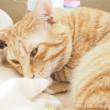 クロネコダンボールで寝る茶トラ猫さんアップ
