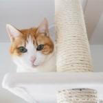 キャットタワーからキャットウォークへ移動して猫草を食べる猫