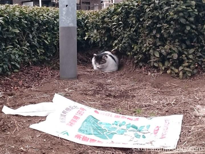 香箱座りのキジトラ白猫さん