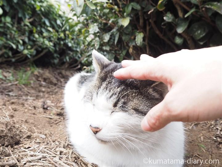 キジトラ白猫さんの頭をなでる