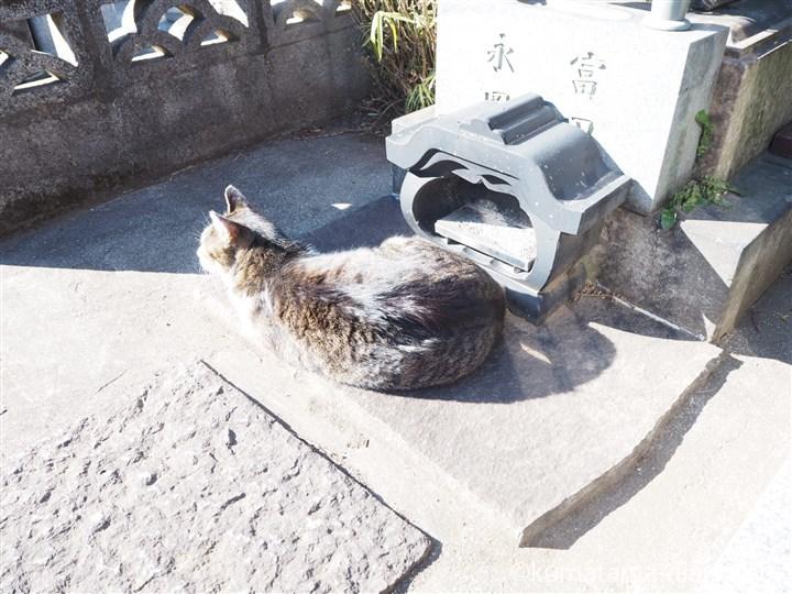 谷中墓地のキジトラ白猫さん