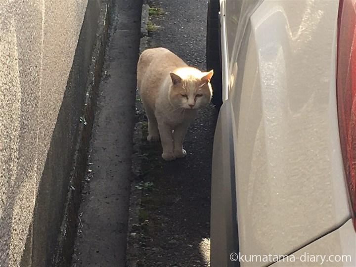 クリーム猫さん