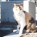 谷中墓地のサビ猫さんと三毛猫さんに再会しました