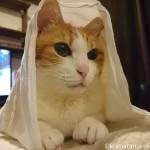 冷えとり健康法で有名な「快肌布(かいきふ)」に包まれる猫