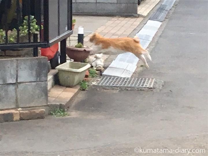 さらに逃げる茶トラ白猫さん