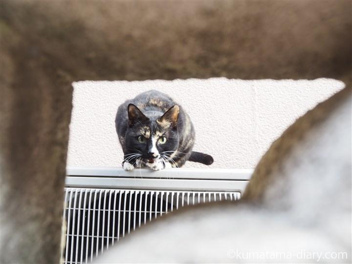 隙間から覗く三毛猫さん