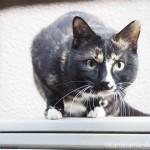 目力が強い狭山市の三毛猫さんに再会しました