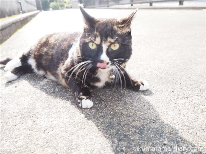 舌出てる三毛猫さん