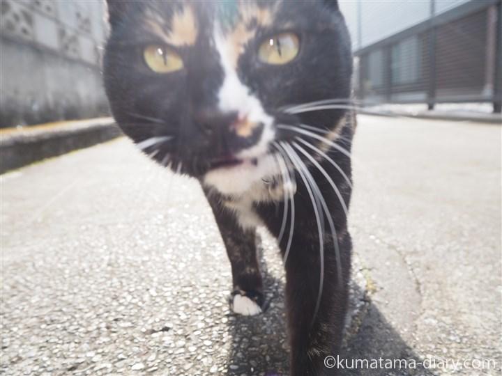 カメラに近づく狭山市の三毛猫さん