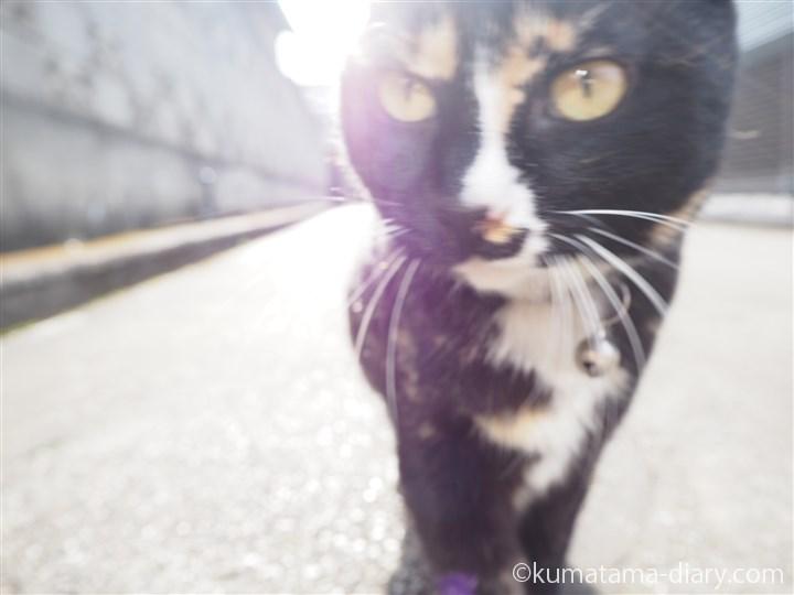 狭山市の三毛猫さん
