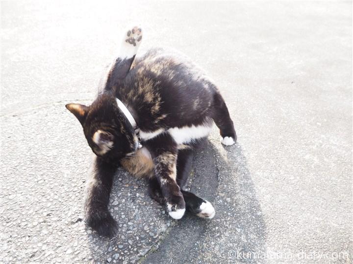 なめる狭山市の三毛猫さん