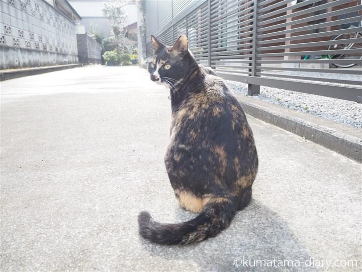 座る狭山市の三毛猫さん