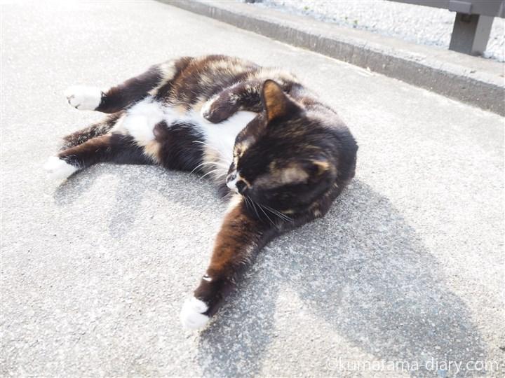 寝転がる狭山市の三毛猫さん