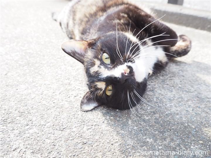 寝転がる狭山市の三毛猫さんの顔