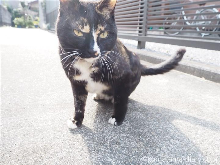 立ち上がる狭山市の三毛猫さん