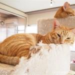 狭山市の保護猫カフェ「funnyCat」のキャットタワーで眠る茶トラ猫さんたち