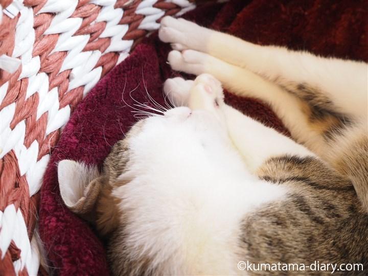 眠るキジトラ白猫さん
