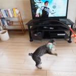 おもちゃに飛びついていた保護猫カフェ「funnyCat」のキジトラ猫さん