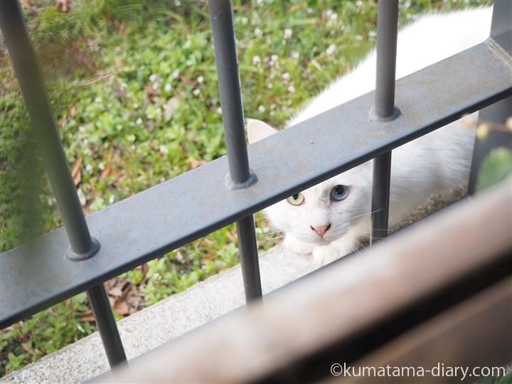 塀越しの白猫さん